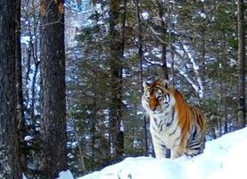 Фото: центр «Амурский тигр»