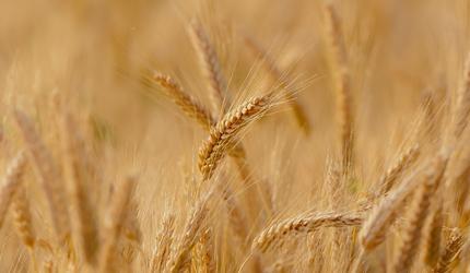 Учёные ДВФУ и ДВО РАН: как снизить потери урожая в жаре, холоде и засухе