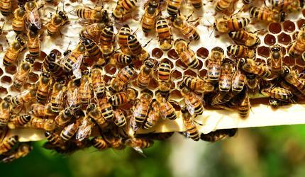 Юрий Лужков рассказал, почему гибнут пчелы
